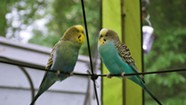 A Shelburne Parakeet Finds Adventure in the Queen City