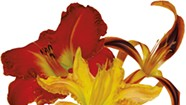 The Daylilies 2017 — Seven Daysies Staff Picks