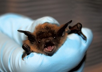 Hanging in There: Some Vermont Bats Are Adapting to White-Nose Syndrome