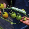 A hornworm on a tomato plant at Arbor Farmstead