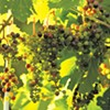 Vermont's Biodynamic Winemakers Follow Nature's Rules