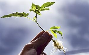 lu2jqhaqjatkwvdayojr_cannabis-plant-roots.jpg