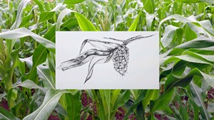COURTESY OF OVERNIGHT PROJECTS - Abenaki Calais Flint Corn grown by Chief Shirly Hook of the Koasek Traditional Band of the Koas Abenaki Nation, accompanied by a drawing by Amy Hook-Therrien