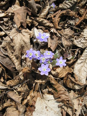 Hepaticas blooming at Mount Independence - Uploaded by Chimney Point