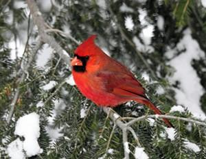 "COURTESY OF FLETCHER FREE LIBRARY - ""Up Close Cardinal (Northern Cardinal)"" by Sharon Radtke"