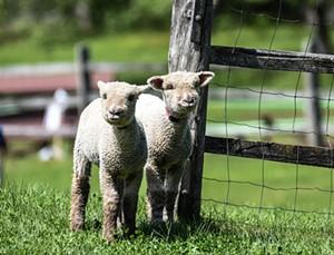 lambs_at_fence.jpg