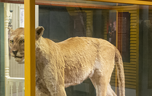 COURTESY OF VERMONT HISTORY MUSEUM - Installation view of catamount
