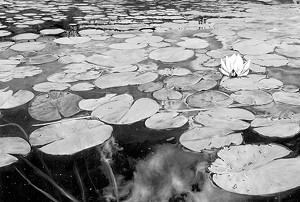 "COURTESY OF SPOTLIGHT GALLERY - ""Wolcott Pond in Bloom"" by Gabriel Tempesta"