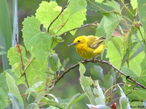 Yellow warbler - Uploaded by reenyb
