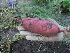 a3ed3215_sweet-potato.jpeg