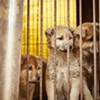 57 Pups Saved From South Korean Meat Farm Find New Life in San Francisco