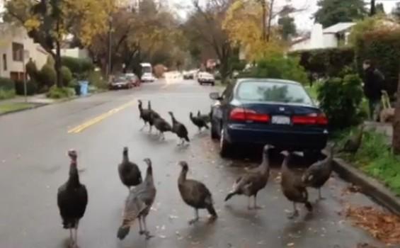 A troop of turkeys goes house-hunting in Berkeley - PERIEL VIA YOUTUBE