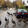 Wild Turkeys Running Loose in East Bay Town, Parents Keeping Kids Indoors