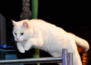 Acro-Cats Bring Kitty Hijinks to San Francisco -- Fur Real