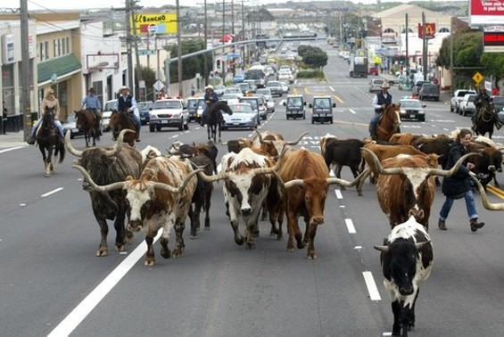 Amazing scenes were witnessed at a past Daly City cattle drive...