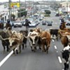Cattle Stampede Planned for San Francisco Streets Tonight