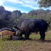 Annual Oliveto Beast Feast
