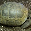 Filched, Incontinent Tortoise Still Missing From S.F. Museum