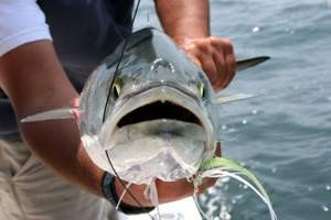 Atlantic bluefish.
