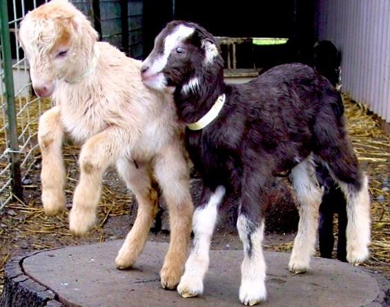 Baby goats! - REDWOOD HILL FARM