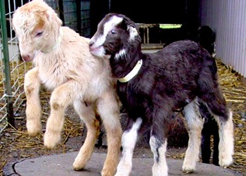Baby Goats Come to the Ferry Plaza: Squeeze Udders and Eat Goat Milk Ice Cream