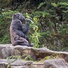 Baby Gorilla Dies in Tragic Accident at SF Zoo