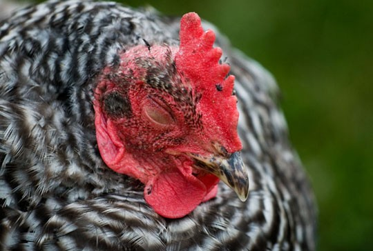 Hipster Backyard Chickens :  Tillie Book Offers Tips on Raising Chickens for City Folk  SFoodie