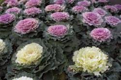 Beauteous ornamental kale visions - HTTP://EN.WIKIPEDIA.ORG/WIKI/KALEWIKIPEDIA
