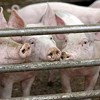 Think China's Doping Pigs? Not Nearly as Much as American Farmers Are