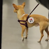 Watch These Damn Cute Chihuahuas Get a Red-Carpet Send Off to NYC