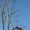 Branching Out: An S.F. Man Achieves Tree-Climbing Supremacy