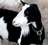 goat_blackwhite.jpg