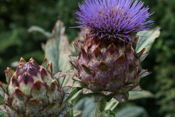 cardoon flowers - FLICKR/PUFFIN11UK