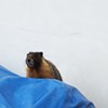 Antifreeze-Addicted Marmot Finally Caught