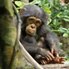 """Chimpanzee"": Wild Animals Made Family-Friendly"