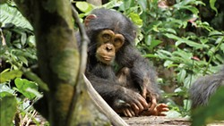 Chimps are apes, not monkeys. They're also goddamn wonderful.