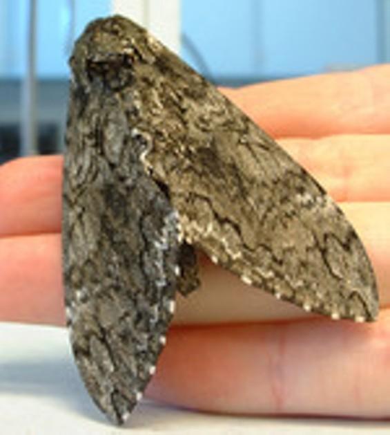 manduca_moth_thumb.jpg