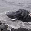 Dead Humpback Whale Washes Up on Half Moon Bay Beach (VIDEO)