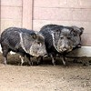 Endangered Peccaries Find a Safe Home at the S.F. Zoo