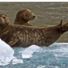 Enviro Sacrifice Watch: No More Clubbing Baby Seals
