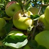 Fall's Here: Three U-Pick Apple Farms to Visit Now