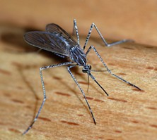 First the government, now mosquitoes - ALVESGASPAR/WIKIMEDIA