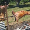 "ForageSF Presents ""The Quest For Pork,"" a Scavenger Hunt for a Wild Boar Roast!"