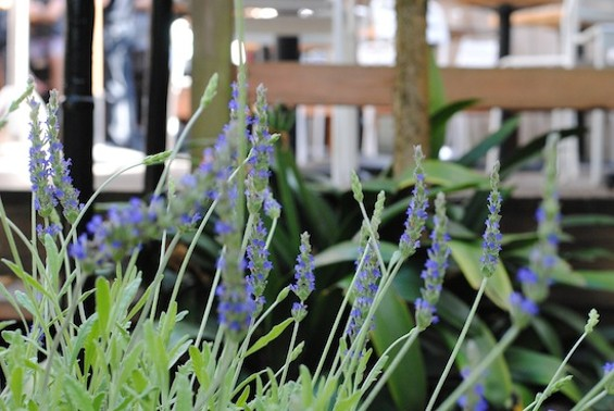 Fresh herbs like lavender, thyme, sage, and basil grow out back. - LIV COMBE