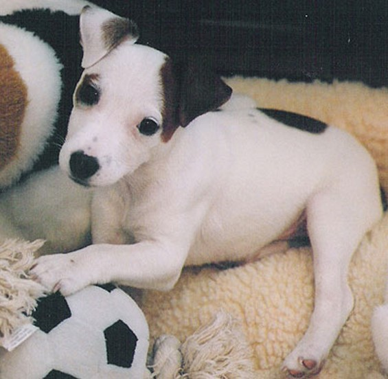 Gerald Anthony Ortega is accused of hanging his girlfriend's dog, a Jack Russell terrier puppy like this one