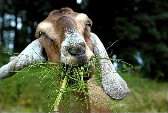 google_goats.jpg
