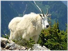 big_goat.jpg
