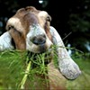 'Goats R Us' Fingers New Employee For Animal Cruelty Rap