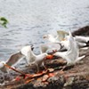 Junk Food Ban Weighed -- For Seagulls
