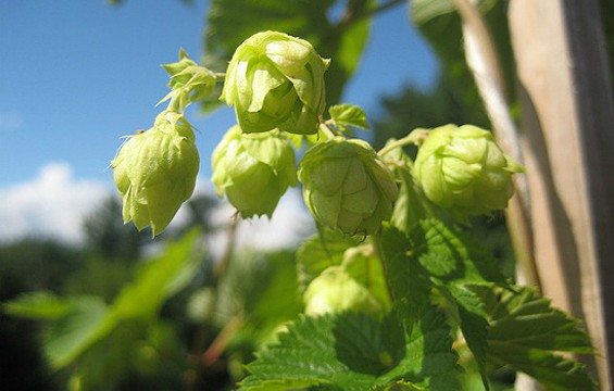 Hop harvest season is upon us. - FLICKR/MICHAELSTYN